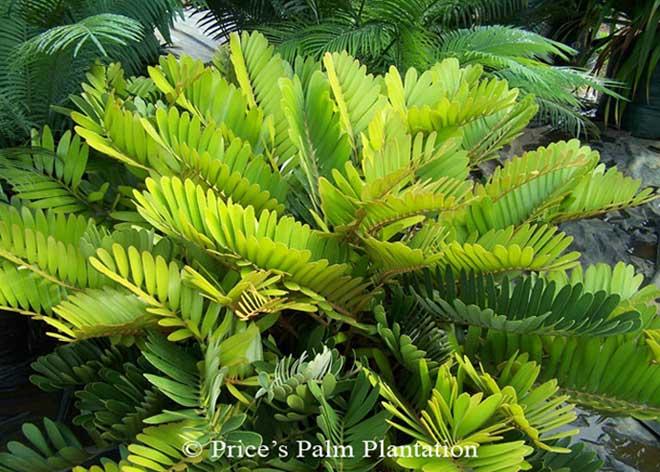 Price S Palm Plantation